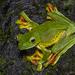 Rhacophorus malabaricus - Photo (c) Anil Kumar Verma, algunos derechos reservados (CC BY-NC)