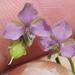 Murdannia nudiflora - Photo (c) Sam Kieschnick, algunos derechos reservados (CC BY)