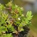 Crassula decumbens - Photo (c) Pat Enright, algunos derechos reservados (CC BY-NC)