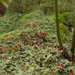 Cladonia incrassata - Photo (c) Tomás Curtis,  זכויות יוצרים חלקיות (CC BY-NC)