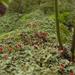Cladonia incrassata - Photo (c) Tomás Curtis, μερικά δικαιώματα διατηρούνται (CC BY-NC)