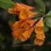 Bomarea multiflora - Photo (c) Proyecto Ecologico San Lorenzo, osa oikeuksista pidätetään (CC BY-NC)