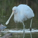 Yellow-billed Spoonbill - Photo (c) Graham Winterflood, some rights reserved (CC BY-SA)