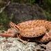 Crotalus willardi amabilis - Photo (c) brandon_dietrich, algunos derechos reservados (CC BY-NC)