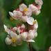 Begonia floccifera - Photo (c) Siddarth Machado, algunos derechos reservados (CC BY-NC)