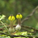 Lantern Flowers - Photo (c) siddarthmachado, some rights reserved (CC BY-NC)