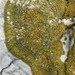 Polycauliona verruculifera - Photo (c) Samuel Brinker,  זכויות יוצרים חלקיות (CC BY-NC)