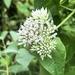 Mikania scandens - Photo (c) upnorth3, algunos derechos reservados (CC BY-NC)