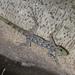Cnemaspis peninsularis - Photo (c) budak,  זכויות יוצרים חלקיות (CC BY-NC)