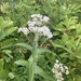 Common Boneset - Photo (c) Zack Harris, some rights reserved (CC BY-NC)