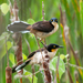 Black-capped Donacobius - Photo (c) Dario Sanches, some rights reserved (CC BY-SA)