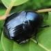 Popillia mutans - Photo (c) onidiras-iNaturalist,  זכויות יוצרים חלקיות (CC BY-NC)