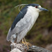 Black-crowned Night-Heron - Photo no rights reserved