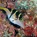 Tetraodontidae - Photo (c) fabvirge, osa oikeuksista pidätetään (CC BY-NC-SA)