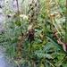 Pedicularis compacta - Photo (c) Павел Голяков, μερικά δικαιώματα διατηρούνται (CC BY-NC)