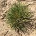 Anabasis cretacea - Photo (c) paleowin, algunos derechos reservados (CC BY-NC)