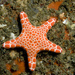 Biscuit Star - Photo (c) erikschlogl, some rights reserved (CC BY-NC-SA)