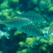 Striped Seabream - Photo (c) frahome, some rights reserved (CC BY-NC)