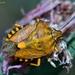 Carpocoris purpureipennis - Photo (c) Marcello Consolo, algunos derechos reservados (CC BY-NC-SA)