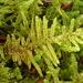 Callicladium imponens - Photo (c) Ken Kellman,  זכויות יוצרים חלקיות (CC BY-NC)