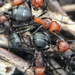 Rufa-group Wood Ants - Photo (c) Jason Headley, some rights reserved (CC BY-NC)