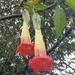 Floripondios - Photo (c) Silvio Cabrera, algunos derechos reservados (CC BY-NC)