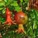 Pomegranate - Photo (c) H. Zell, some rights reserved (CC BY-SA)