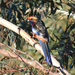 Adelaide Rosella - Photo (c) seamus-doherty, some rights reserved (CC BY-NC)