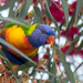 Rainbow Lorikeet - Photo (c) andrew_allen, some rights reserved (CC BY-NC)