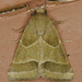 Slender Flower Moth - Photo (c) Monica Krancevic, some rights reserved (CC BY-NC)