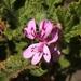 Pelargonium panduriforme - Photo (c) Sandra Falanga, algunos derechos reservados (CC BY-NC)