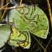 Polypedilum braseniae - Photo (c) Nathaniel Sharp, μερικά δικαιώματα διατηρούνται (CC BY-NC)