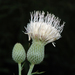 Nuttall's Thistle - Photo (c) Patty Mitchum, some rights reserved (CC BY)