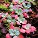 Sedum spathulifolium - Photo (c) kathawk, algunos derechos reservados (CC BY-NC)