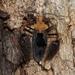 Ptilocnemus femoralis - Photo (c) ron_n_beths pics, algunos derechos reservados (CC BY-NC)