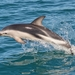 Dusky Dolphin - Photo (c) Alexandre Roux, some rights reserved (CC BY-NC-SA)