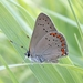 Coral Hairstreak - Photo (c) ebrunquist, some rights reserved (CC BY-NC)