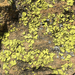 African Gold Lichen - Photo (c) fieldbotanist, some rights reserved (CC BY-NC)
