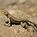 Sceloporus squamosus - Photo (c) mario_trejo, μερικά δικαιώματα διατηρούνται (CC BY-NC)