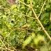 Bengalí Verde - Photo (c) desertnaturalist, algunos derechos reservados (CC BY)