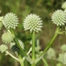 Rattlesnake Master - Photo (c) Kevin Metcalf, some rights reserved (CC BY-NC)