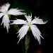 Dianthus mooiensis mooiensis - Photo (c) Richard, algunos derechos reservados (CC BY-NC)