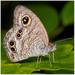 Ypthima - Photo (c) Chung Kiu, Ryan Cheng, algunos derechos reservados (CC BY-SA)