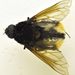 Bryodemina valida - Photo (c) licensed media from Diptera of Central America without owner, algunos derechos reservados (CC BY-NC-SA)