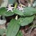 Tricyrtis affinis - Photo (c) Alpsdake,  זכויות יוצרים חלקיות (CC BY-SA)