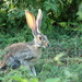 Antelope Jackrabbit - Photo (c) francisco farriols, some rights reserved (CC BY), uploaded by Francisco Farriols Sarabia