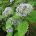 Hydrangea hirta - Photo (c) Qwert1234, algunos derechos reservados (CC BY-SA)