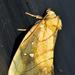 Satrapodes dosca - Photo (c) Ricardo Arredondo T., algunos derechos reservados (CC BY-NC)