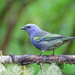 Golden-chevroned Tanager - Photo (c) Dario Sanches, some rights reserved (CC BY-SA)