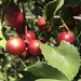 Prunus ilicifolia - Photo (c) rappman, algunos derechos reservados (CC BY)